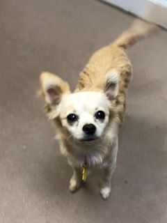 Puff A Long Haired Chihuahua At Barks Recreation Seminole Fl