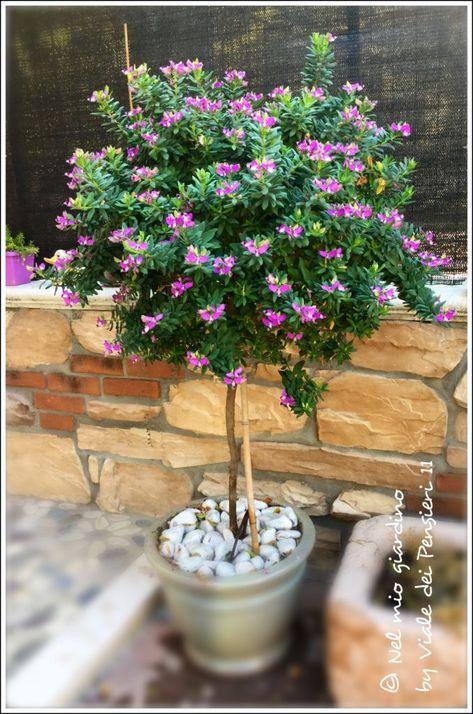 Polygala Myrtifolia Pianta Sempreverde Dalla Fioritura Ricca E