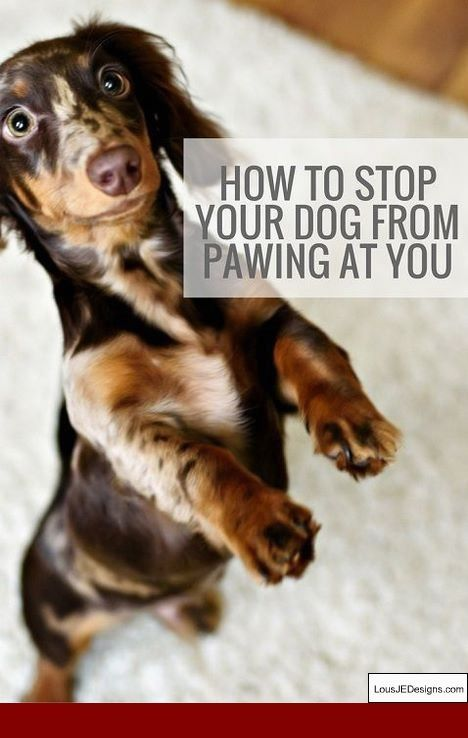 Training Tips For Dachshund Puppies And Pics Of Best Way To Train