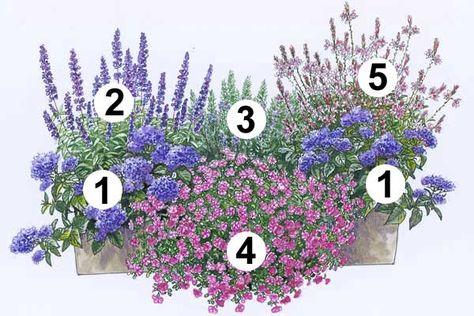 """1 Vanilleblume """"Nagano"""" (2 Stück), die üppige Blütenschirme bildet.   Zum Vergrößern bitte Zeichnung anklicken  2 Balkonsalbei """"Farina Viole..."""