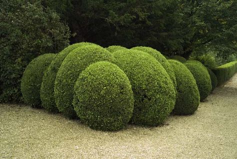 Spheres of clipped box or yew.