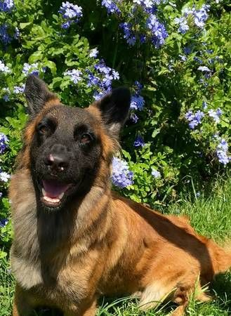 Belgian Shepherd And Basset Hound Mix For Adoption Belgian