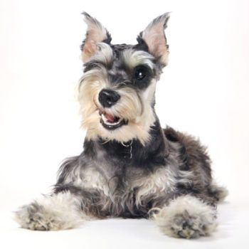 Visit Our Vip Puppies Faq Shop For Puppies Today Vip Puppies Miniature Schnauzer Puppies Schnauzer Schnauzer Puppy