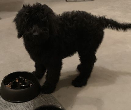 Bernedoodle Puppy For Sale In Springfield Mo Usa Adn 111668 On