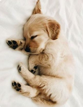 Golden Retriever Discover 10 Adorable Puppies Playing In Their First Snow [PICTURES] - Dogtime tiny sleeping Golden Retriever puppy Baby Animals Super Cute, Super Cute Puppies, Cute Little Puppies, Cute Little Animals, Cute Dogs And Puppies, Cute Funny Animals, Adorable Puppies, Puppies Puppies, Doggies