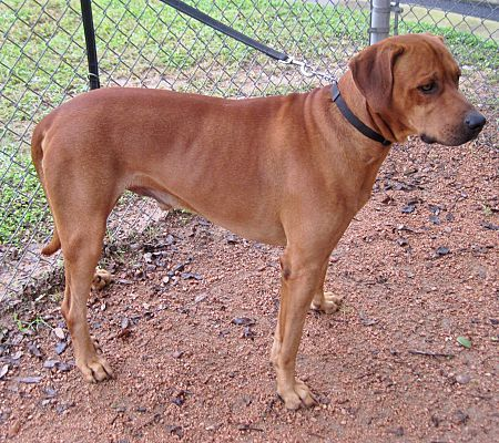 Georgetown Tx Rhodesian Ridgeback Meet Savo A Dog For Adoption