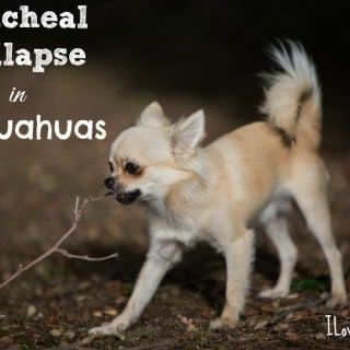 Chihuahua Health Problems To Be Aware Of Reverse Sneezing In