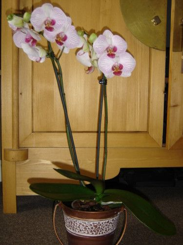 Orchidee Phalaenopsis Comment S En Occuper Le Blog De Chris Orchidee Orchidee Phalaenopsis Cultiver