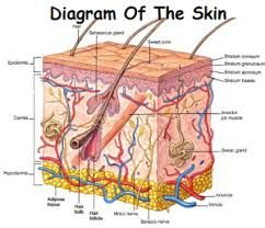 Image result for skin diagram labeled | Skin anatomy, Basic anatomy and  physiology, Integumentary systemPinterest