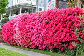 The Magic Miracles And Joy Of An Artist Azalea Hedge Privacy