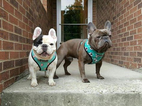 Manny and Frank, French Bulldog Brothers