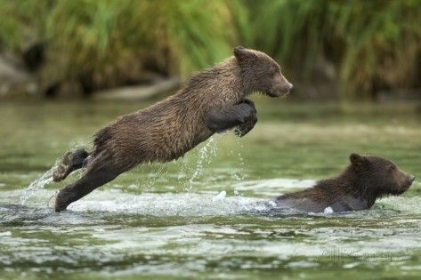 Brown Bear Cub, Katmai National Park, Alaska Photographic Print by Paul Souders at AllPosters.com