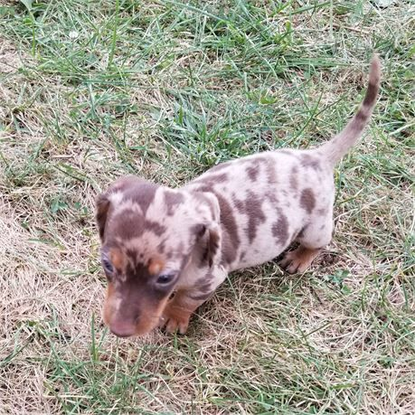 Miniature Dachshund Puppies For Sale Dogs For Sale Dachshund