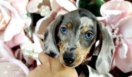 Miniature Dachshund Puppies For Sale We Ship Very Safe Easy
