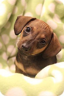 Bedminster Nj Chihuahua Dachshund Mix Meet Choco A Puppy For