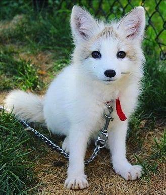 Cute Fox Makes Good Pet Love Creature Wild Cute Animals Pet Fox Cute Cats And Dogs