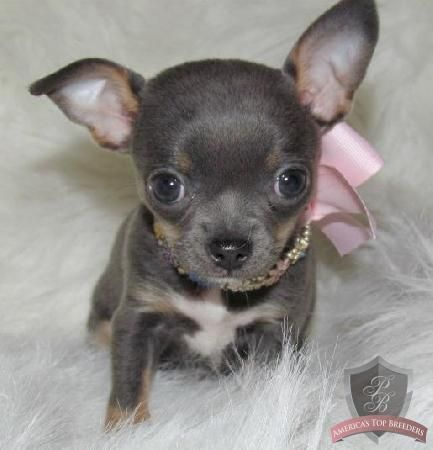 This Is The Blue Chi Puppy I Want For 2014 Chihuahua