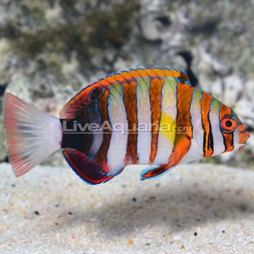 Indonesian Harlequin Tusk Fish Pet Foster And Smith Pets