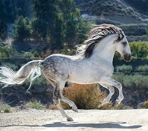 The Andalusian, also called the Pure Spanish Horse or PRE (pura raza española), is an ancient horse breed that is intimately connected to European history. All The Pretty Horses, Beautiful Horses, Animals Beautiful, Horse Photos, Horse Pictures, Andalusian Horse, Friesian Horse, Arabian Horses, Horse Galloping