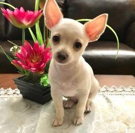 Chihuahua Puppies For Sale Corpus Christi Tx With Images