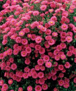 All About Asters Finegardening Aster Flower Flowers Perennials Perenial Flowers