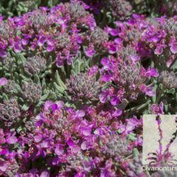 Teucrium Majoricum Mediterranean Carpet Plant Catalogs Plants Desert Plants