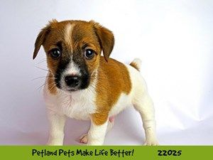 Dogs And Puppies For Sale Petland Naperville Illinois Puppies For Sale Puppies Happy Puppy