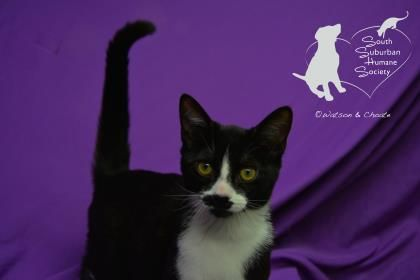 Doctor Adoptable Cat From Sshs Chicago Heights Il Cat Adoption Animals Chicago Heights