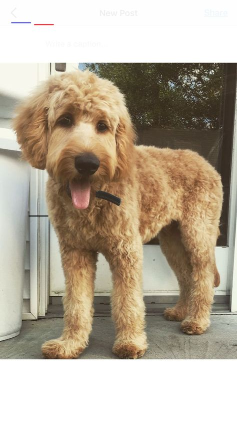 Doodle Doodle Goldendoodle Groomed Br In This Article We Will Be