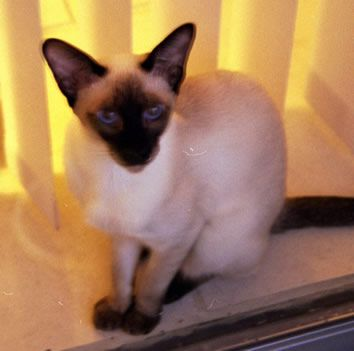 Siamese Cat Photo Gallery Suyaki Siamese Cattery Siamese Kittens For Sale In Florida Cattery Siamese Kittens Siamese Cats