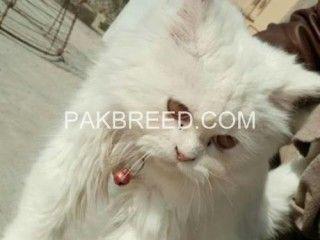 Marilyn Purroe Persian Kittens For Sale Teacup Kitten Beautiful Kittens