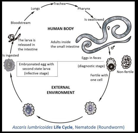 Bélférgesség tünetei és kezelése Gumi féreg a testben