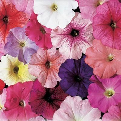 Petunia Celebrity Mix F1 Petunias Flower Seeds Petunia Flower
