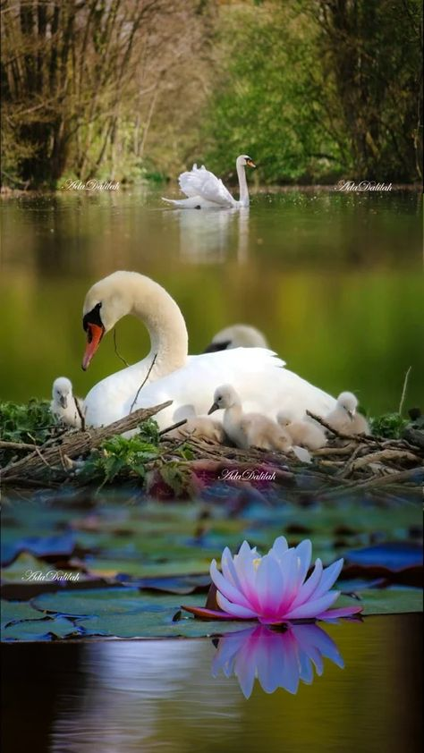 Gorgeous scene! Swans build up a nest  of piled sticks in shallow water, to keep the eggs and baby cygnets safe from predators on the shore. The father stays on duty nearby, protecting the family.