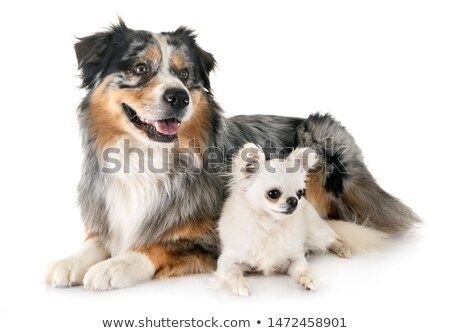 Stock Photo Australian Shepherd And Chihuahua In Front Of White Background With Images Pet Dogs Australian Shepherd Chihuahua