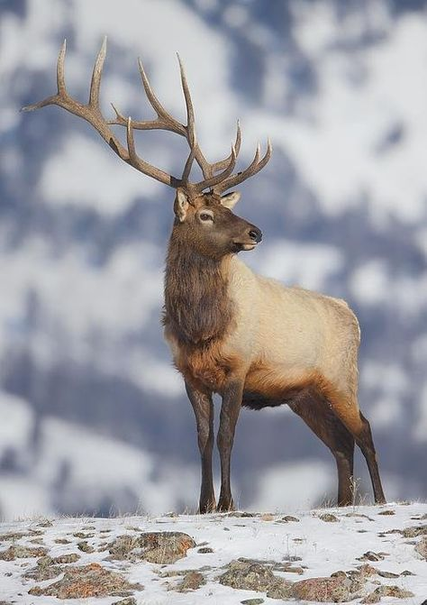 """beautiful-wildlife:"""" Bull Elk In Blacktail Plateau by Christopher Brookhart""""The Elk, or Wapiti (Cervus canadensis), is one of the largest species within the deer family in the world, and one of the largest land mammals in North America and Eastern. Wildlife Paintings, Wildlife Art, Beautiful Creatures, Animals Beautiful, Animal Original, Animals And Pets, Cute Animals, Hirsch Tattoo, Bull Elk"""