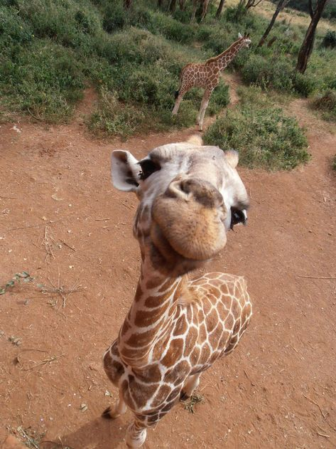 25 Reasons You Should Love Adorable, But Clumsy, Baby Giraffes                                                                                                                                                      More