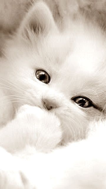 White Beauty With Images Kittens Cutest Cute Cats And