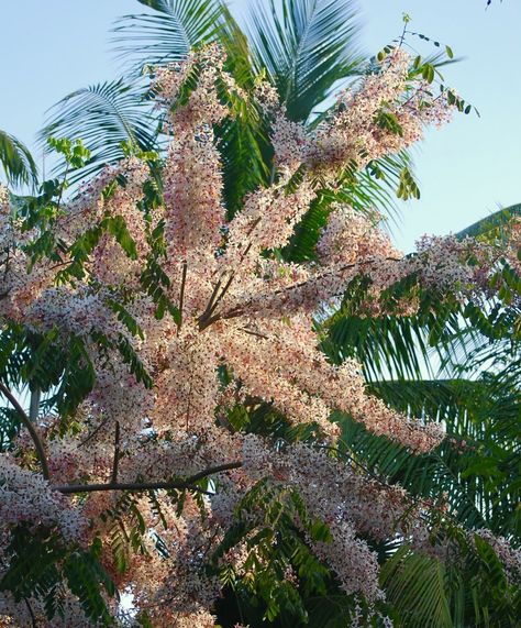Spring blossoms in Miami. I planted a pink tree to match my pink house.