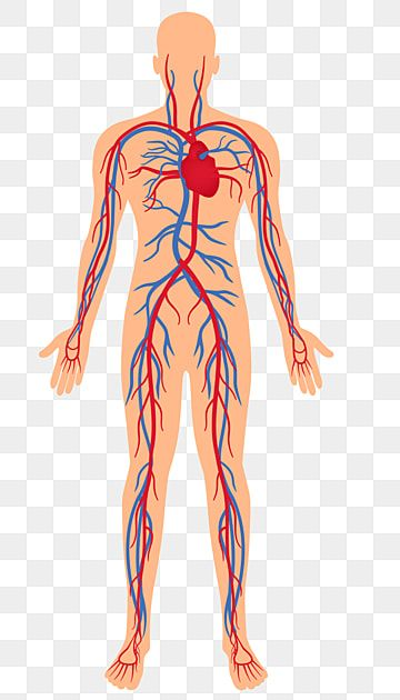 Distribution Map Of Human Arteries And Veins Human Clipart Human Body Artery Png And Vector With Transparent Background For Free Download Human Clipart Human Spine Human Brain Facts