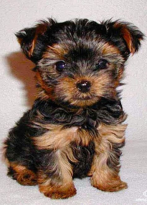 Yorkshire Terrier Energetic And Affectionate Cute Small Dogs Hypoallergenic Dog Breed Miniature Dogs