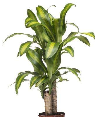 金運アップ 風水に良い観葉植物10選 植物栽培 観葉植物 風水 植物