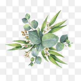 Eucalyptus Png Eucalyptus Watercolor Watercolor Eucalyptus