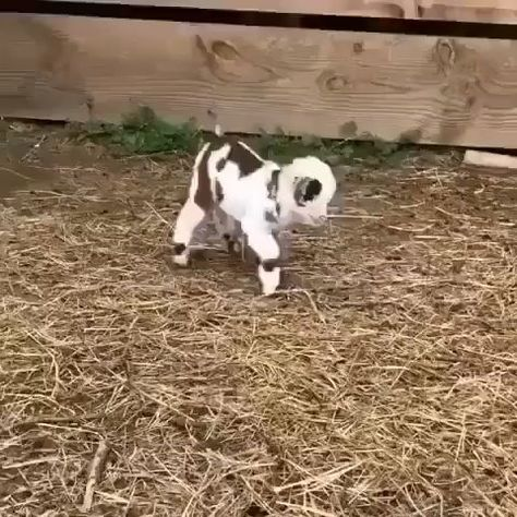 The little goat tries to jump #little #tries
