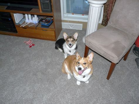 Abbey Our Almost 2 Yr Old Red Headed Tricolor Pembroke Welsh Corgi