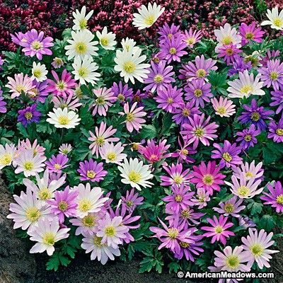 Anemone Blanda Mix In 2020 Bulb Flowers Shade Loving Flowers Shade Flowers