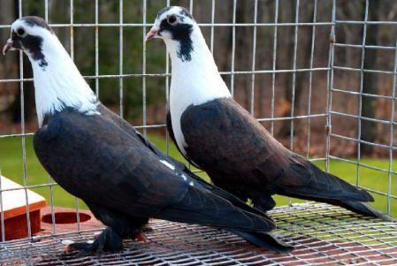 تفسير رؤية ذبح الحمام في الحلم لابن سيرين الحمام الحمام في المنام تفسير ابن سيرين تفسير النابلسي Animals Parrot Birds
