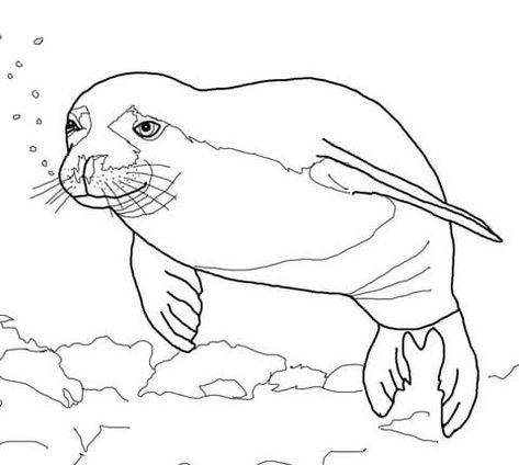 Seal Coloring Dwcp Hawaiian Monk Seal Coloring Page Free