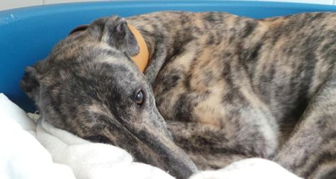 Homeless Hound Can T Find A Home As He Is Always Asleep Dogs Trust Dogs Trust Snetterton Is Appealing To Local Dog Lovers To Hel Shelter Dogs Dogs Trust Dogs