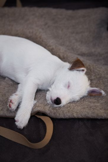 White Dog Sleeping Sleeping Dogs Cute Animals Baby Dogs